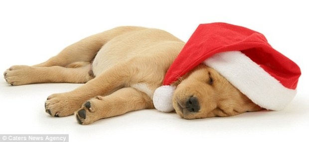 This puppy is all tired out after a whole day celebrating Christmas. I know just how he feels!