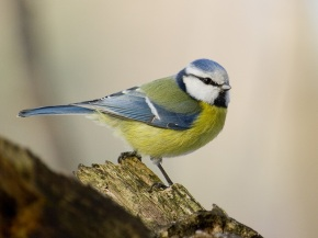 the blue tit - the most common bird in my garden by a long shot.