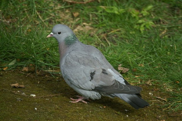the stock dove - a suprise visitor to my garden, and a species on the decline.