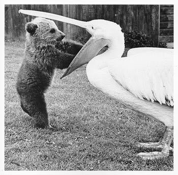 the bear and the pelican