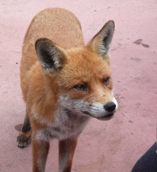 A foxy friend of mine
