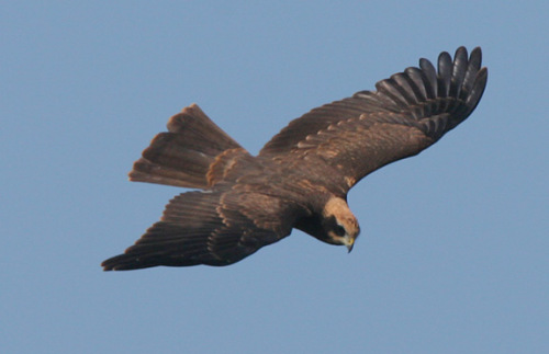 surf marsh harrier